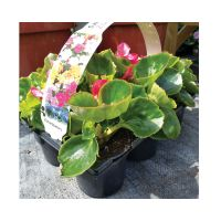 Begonia Carry Pack x 6 - image 1