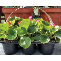 Begonia Carry Pack x 6 - image 2