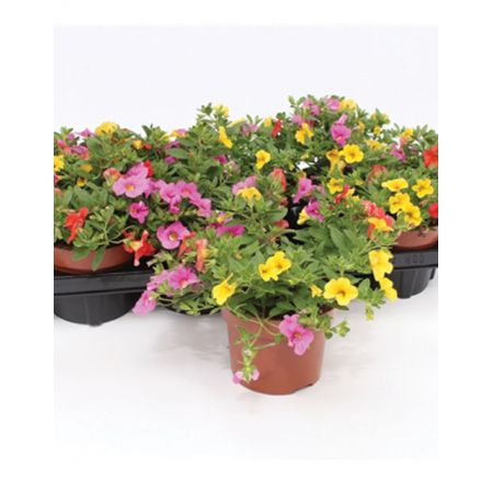Calibrachoa (Million Bells) 'Candy House' 1L Pot