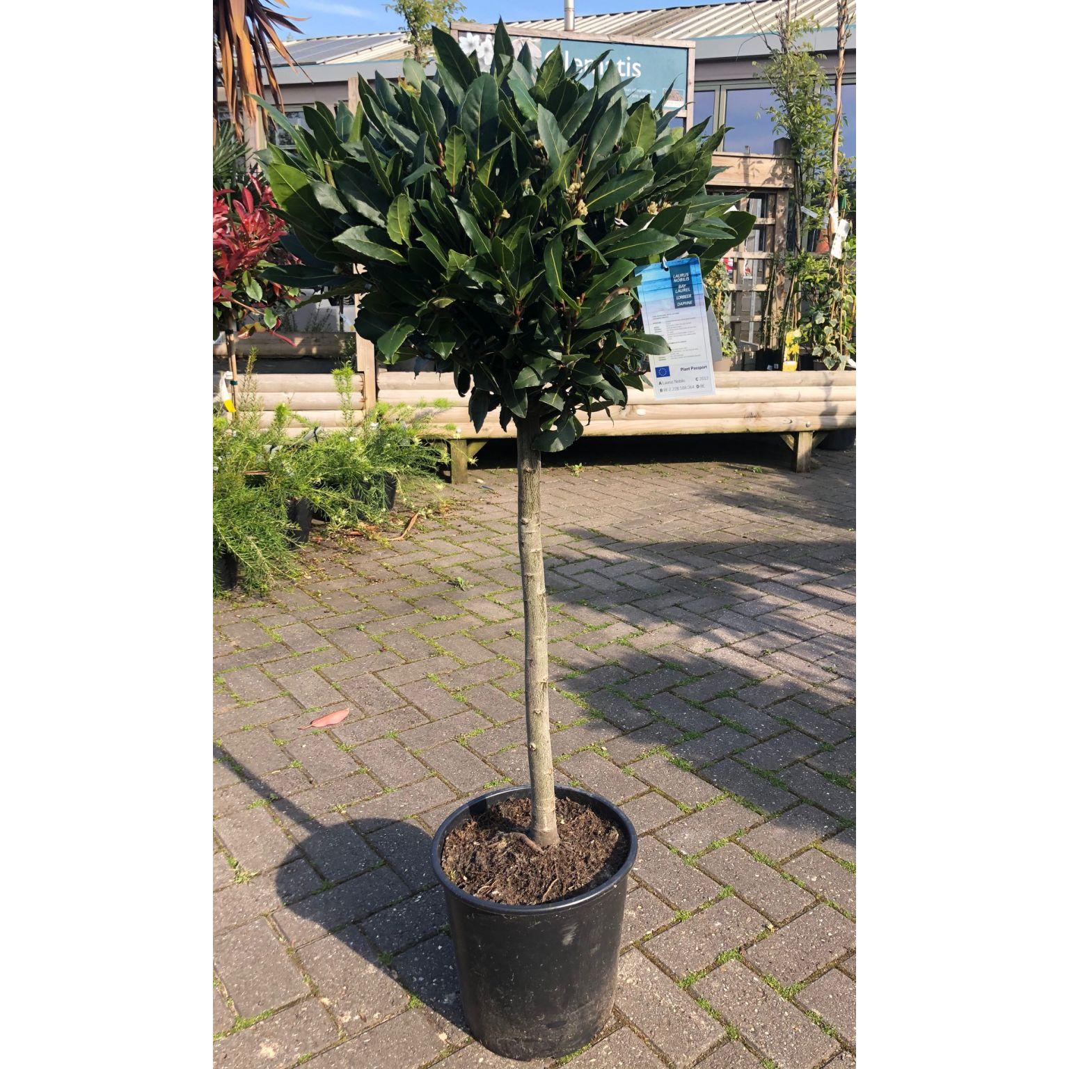 Topiary Bay Tree 1 2m Bourne Valley Garden Centre
