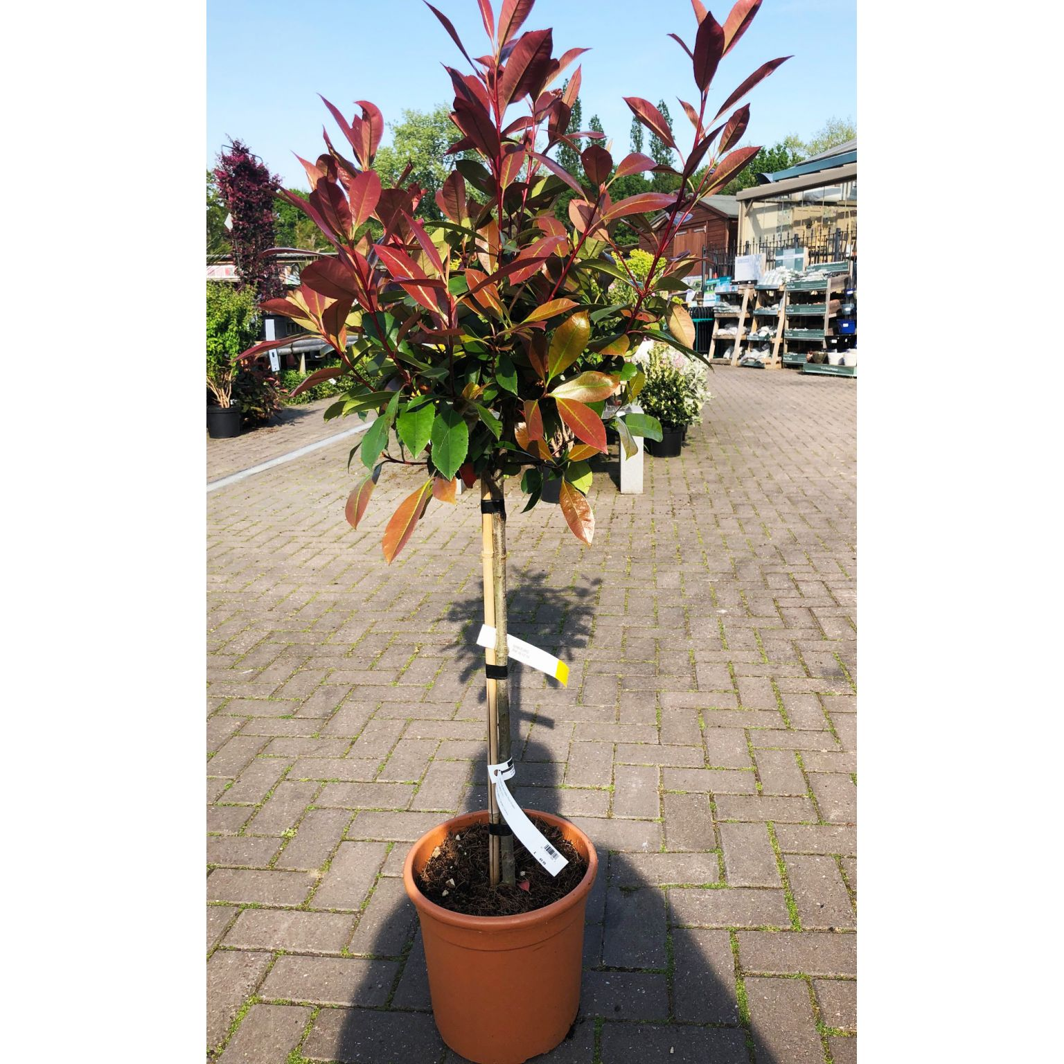 Topiary Photinia Red Robin Tree 1 2m Bourne Valley Garden Centre