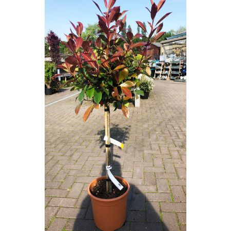 Topiary Photinia 'Red Robin' Tree 1.2m
